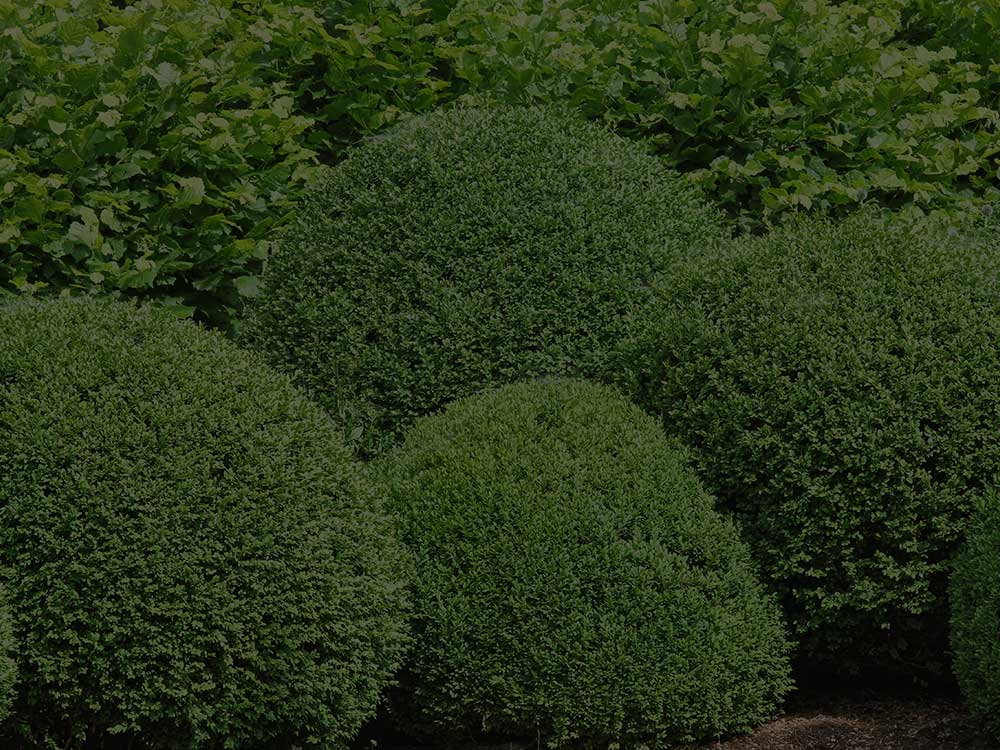 Glenridge Shrubs and Hedges